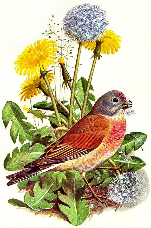 Linnet ~ Charles F Tunnicliffe