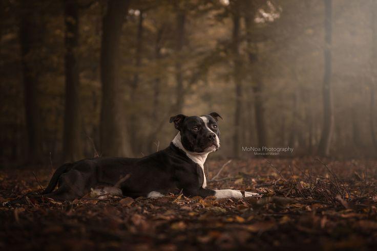 #Staffordshirebullterrier #Dog