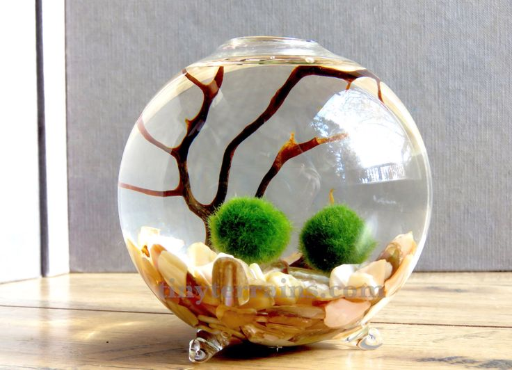 Marimo Terrarium - Marimo Moss Ball Single Globe Aquarium , Several Colors Available by TinyTerrains on Etsy https://www.etsy.com/listing/254865170/marimo-terrarium-marimo-moss-ball-single