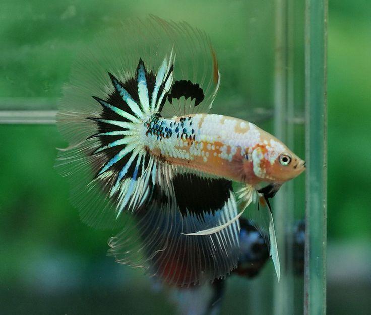 82 best Dragon Scale Bettas images on Pinterest | Aquarium ...