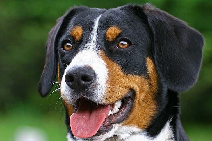 Appenzeller Sennenhund Dog Breed Information Dog Breeds Dog Light Entlebucher Mountain Dog