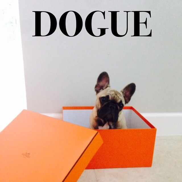 'Dogue Cover' French Bulldog Puppy in an Hermés Box.