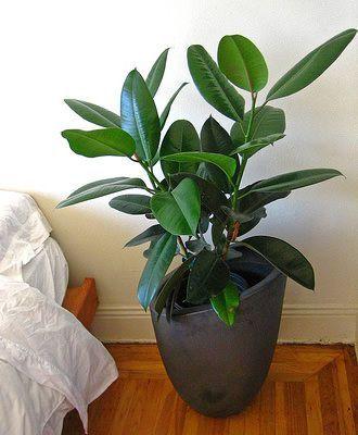 ゴムの木 種類 実例 育て方 花言葉 増やし方 観葉植物図鑑 Interior Green