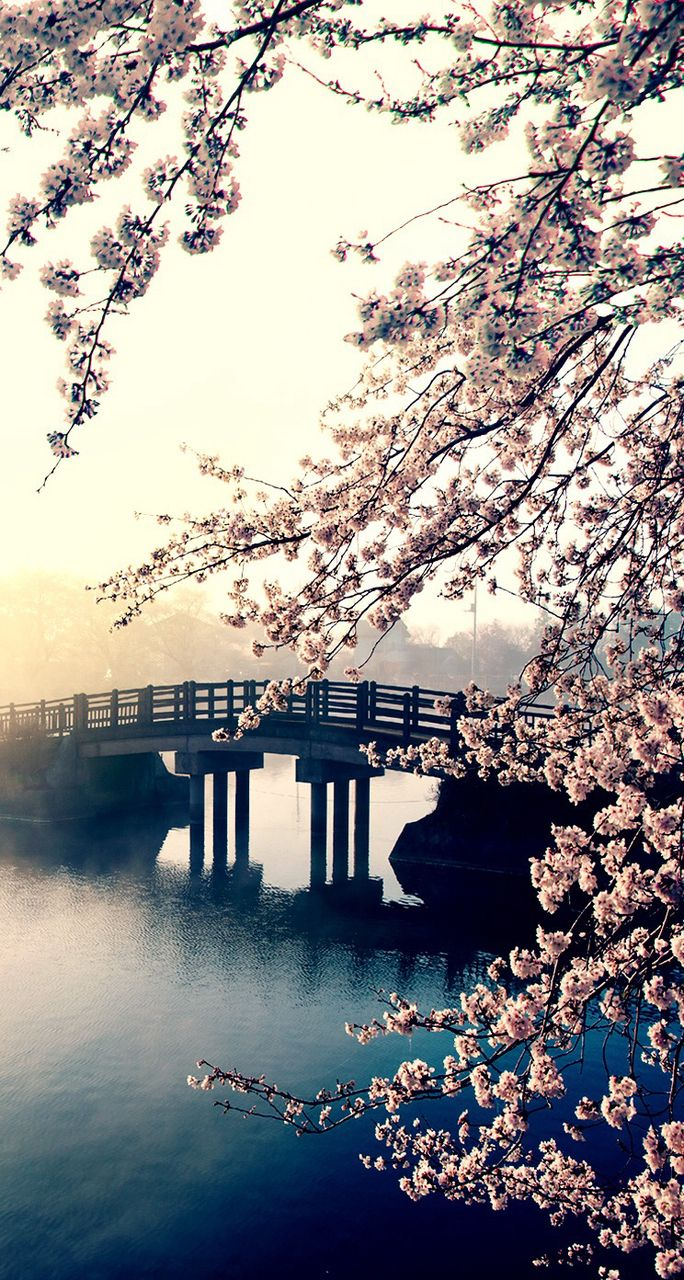 Amazing cherry blossom tree branches over a beautiful bridge during a misty sunrise! Amazing!