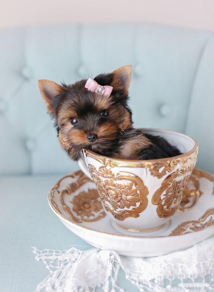 Apricot Toy Poodle Mini