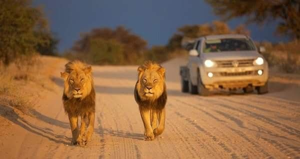 Places of interest to visit in South Africa and Botswana. Kgalagadi Transfrontier Park... Where the red dunes and scrub fade into infinity and herds of gemsbok, springbok, eland and blue wildebeest follow the seasons, where imposing camel thorn trees provide shade for huge black-mane lions and vantage points for leopard and many raptors... this is the Kgalagadi Transfrontier Park....#wildlife #southafrica #photosafari #tourism #extremefrontiers #bush #adventure #holiday #vacation #safari…