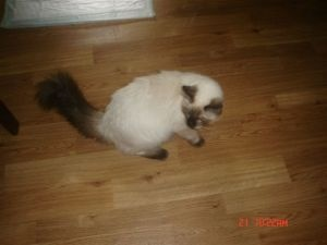 Himalayan cats for sale rochester ny