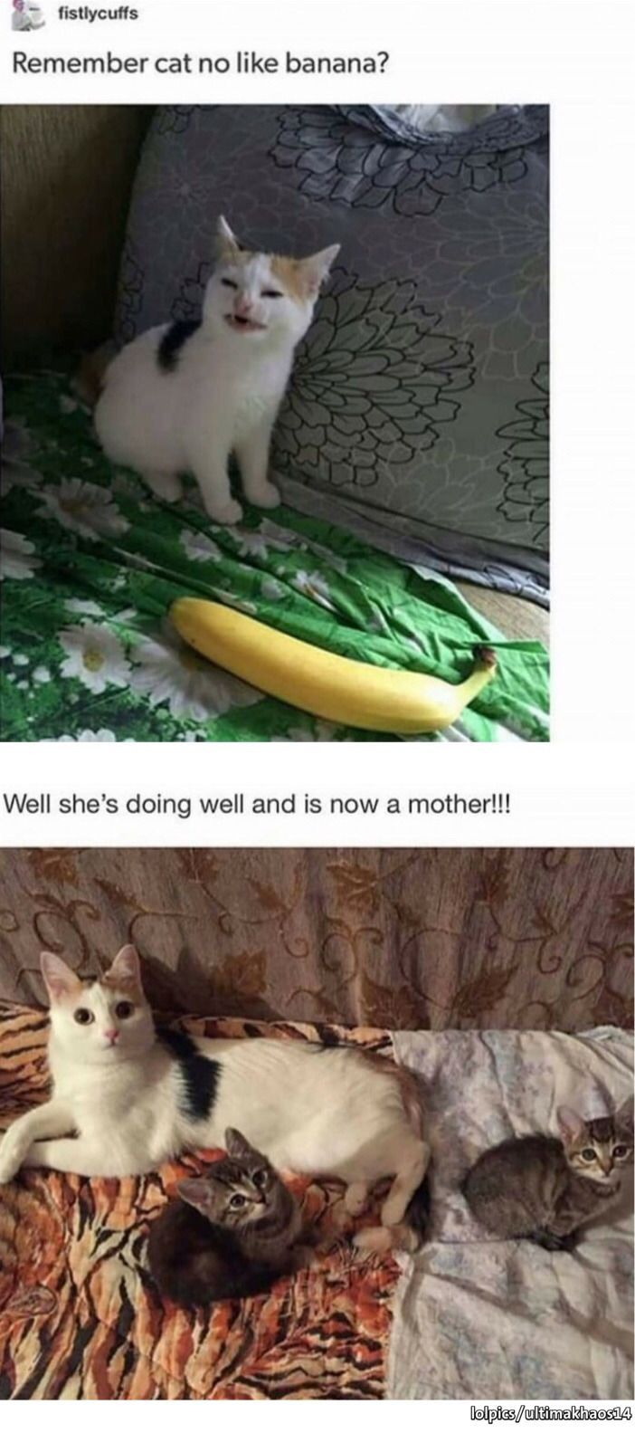 Cat No Like Banana Meme In 2020 Cute Funny Animals Cute Baby Animals Funny Animals