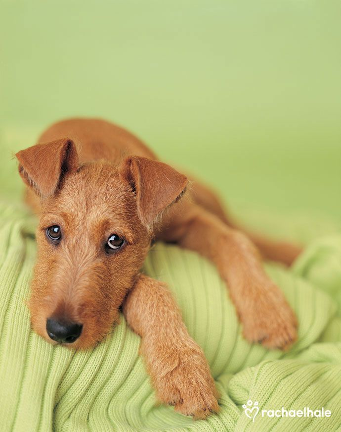 Irish (Irish Terrier) - Irish, daydreaming of green fields.