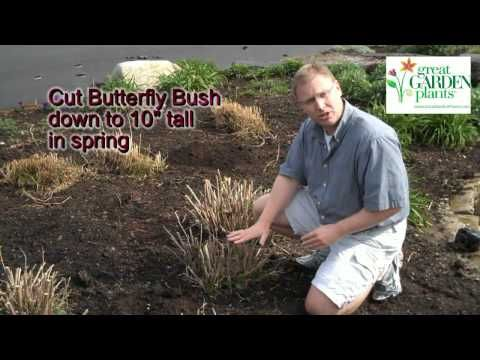Pruning Butterfly Bush - Buddleia (Late April)
