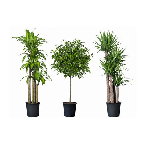 """Potted plant, tropical plant, assorted species plants  $40  Product dimensions  Diameter of plant pot: 12 """"  Height of plant: 55 """""""