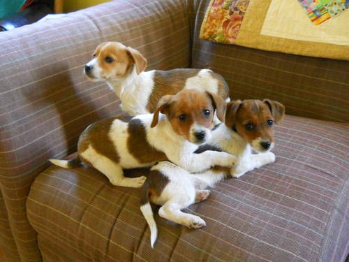 Dachshund/Jack Russell Mix Puppies. This must have been what Pepper looked like