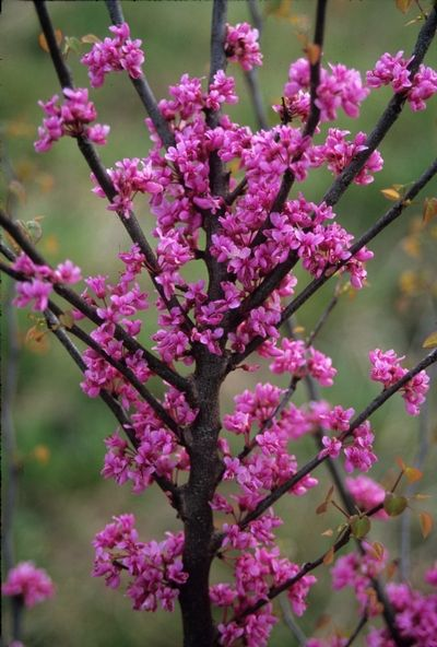 Cercis canadensis - The Eastern Redbud is a native tree and grows 10'-12' tall x 12'-15' wide in 5 years.
