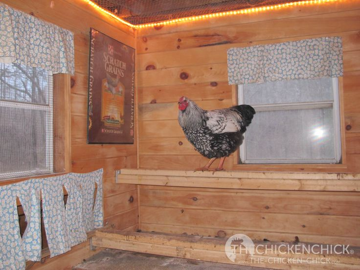 The amount of light is not critical, it should just be enough to allow the hens…