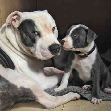 The Staffordshire Bull Terrier was bred in 19th-century