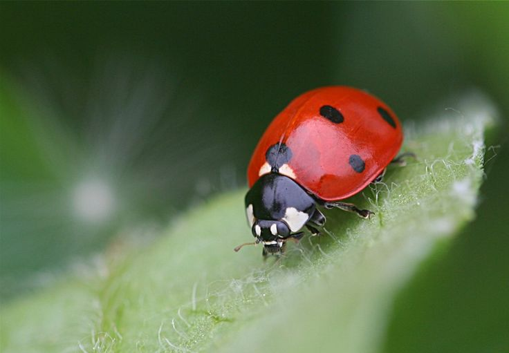 insects ladybirds desktop wallpapers - photo #3