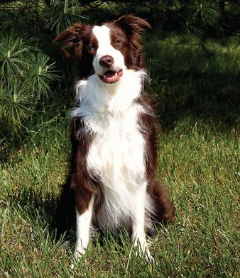 Beautiful red(brown) and white border collie
