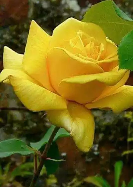 Find This Pin And More On Pretty Yellow Flowers Roses