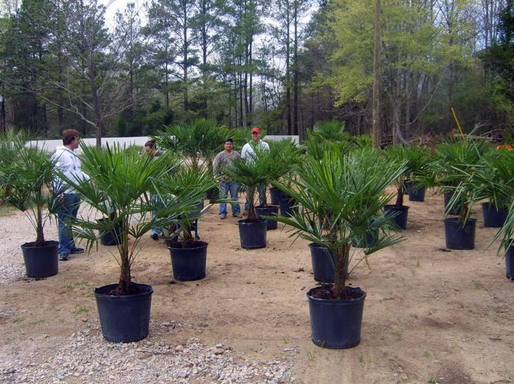 Windmill Palm Trees Growing: Windmill Palm Tree - Planting and Growing