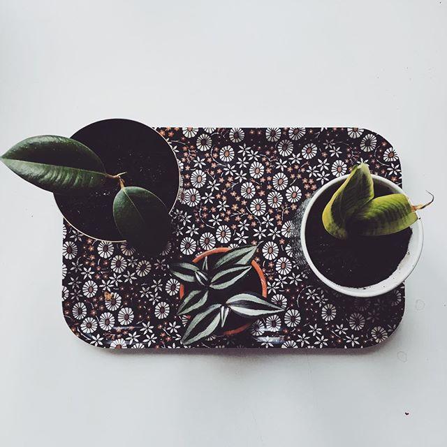 Plant babies. . . . #tradescantiazebrina #tradescantia_zebrina #tradescantia #zebrablad #sansiveria #sansiveriasuperba #svärmorstunga #ficuselastica #fönsterfikus #growingthings #plantbabies #växtgäris
