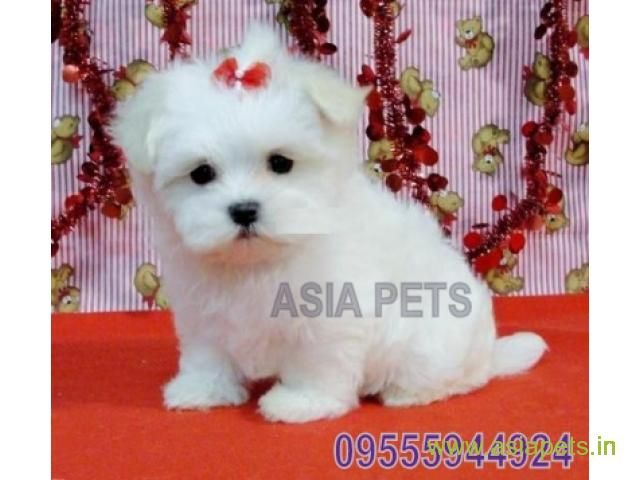 Tea Cup Maltese Puppy Sale In Jaipur Price Maltese Puppy Chow