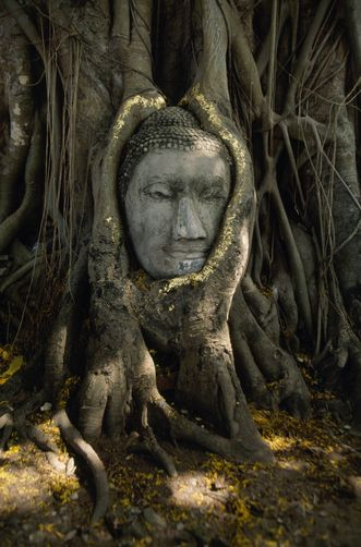 An ancient Buddha head cradled by a tree stands near Wat Mahathat.  Location:Ayutthaya, Thailand.