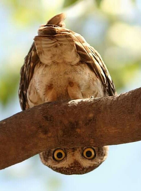 "♡♡♡ ""Curiosity"" Spotted Owlet, Ahmedabed, India 18 September 2015 ♡♡♡"