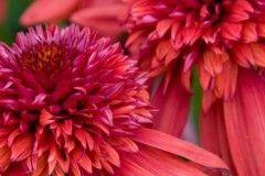 ehinaceja_eccentric_ высота  60 см. Цветы красно-оранжевые, махровые.