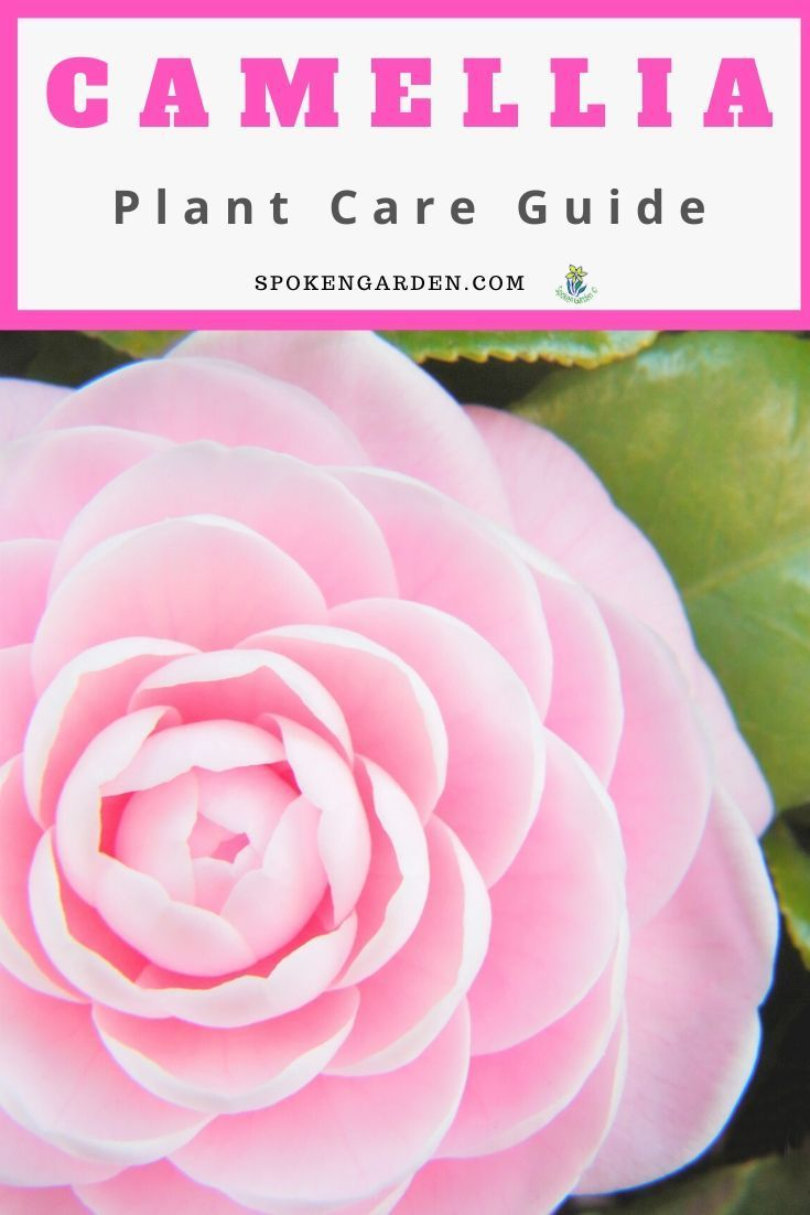 Camellia A Gardener S Guide And Plant Profile In 2020 Spring Garden Flowers Fall Flowers Garden Plants