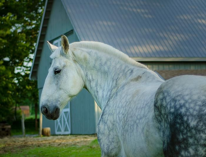 dapple percheron