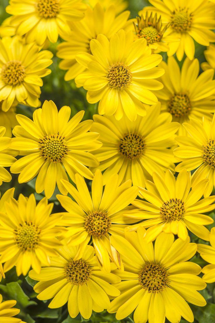 Bright+Lights™+Yellow+-+African+Daisy+-+Osteospermum+hybrid