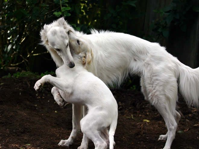 A lovely Silken Windhound and his pup