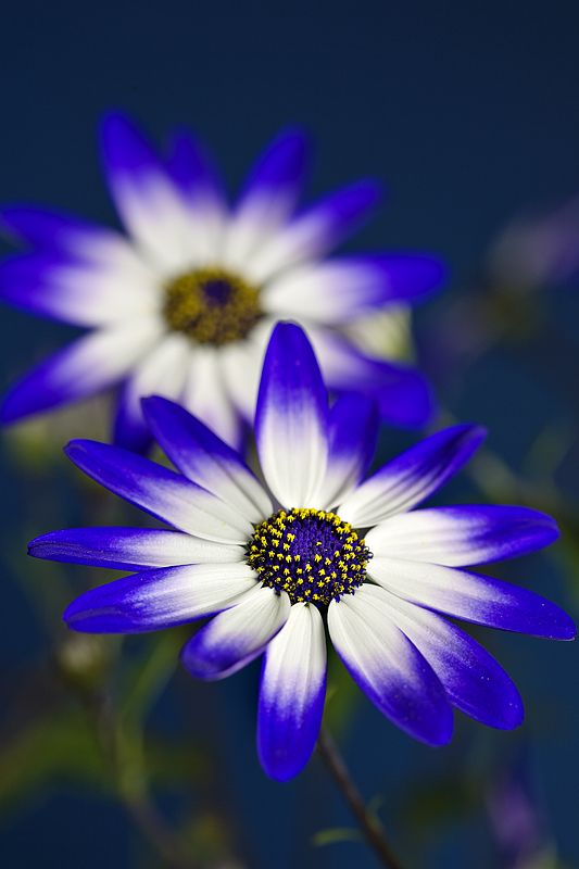 ~~Senetti Flowers by Allan Coutts Photography~~