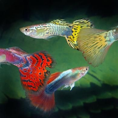 17 best images about aquariums guppies galore on for Fancy guppy fish