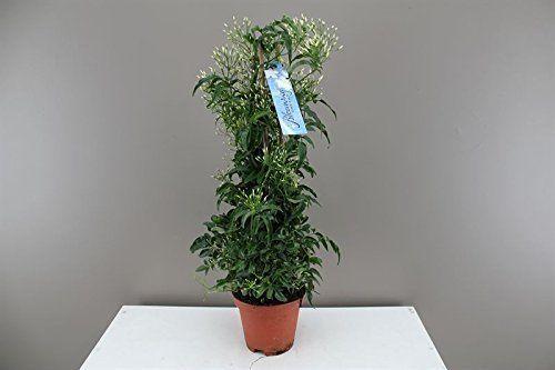Jasmine Pyramid - Best4Garden Online Plant Delivery