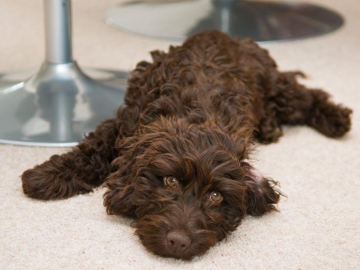 Puppyfinder.com: Cockapoo dogs for adoption near me in North Dakota USA