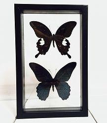 Vlinders in lijst Papilio Memnon & Protenor. In deze lijst met dubbel glas zitten twee grote vlinders. De Papilio Memnon en de Papilio Protenor. Beide behoren tot de donkerste vlinders. Ze zijn vrijwel donkergrijs tot zwart en hebben slechts rode accenten.