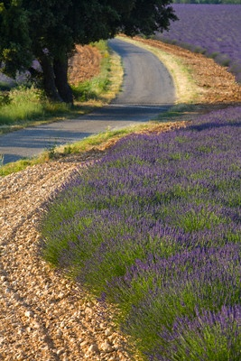 Lavender field and winding road ROAD