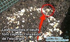 Escargot qui s'en va à cause des coquilles d'oeufs