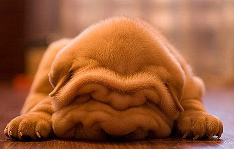 too effing cute.Cute Animal, Puppies Pictures, Sleepy Time, Little Puppies, Shar Pei, Animal Photography, The Face, Sharpei, Naps Time