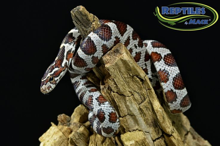 Miami Phase Corn Snake for sale at Reptiles by Mack