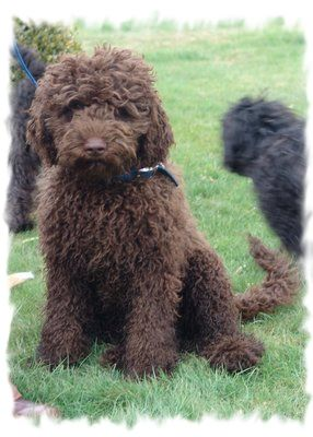 Pet a brown Goldendoodle this morning named Pele! So soft and friendly.