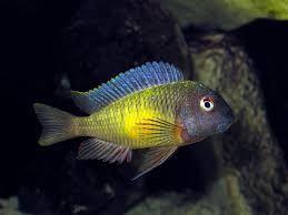 Image result for tropheus moorii