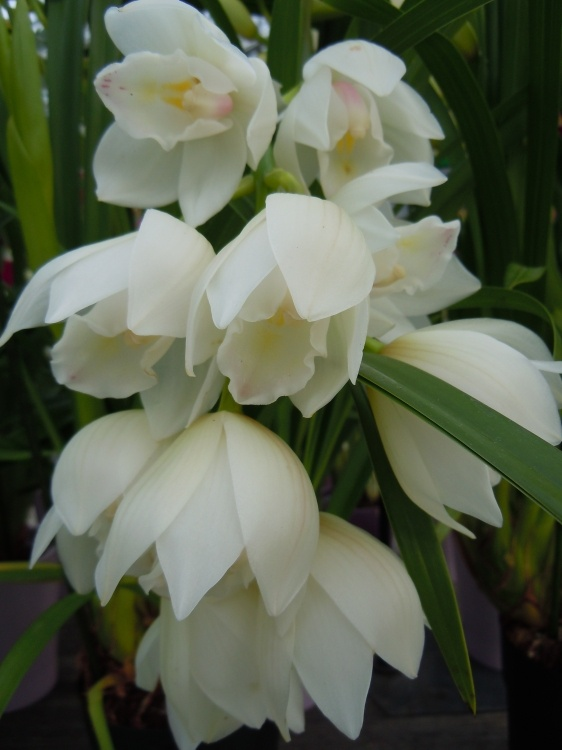 Cymbidium | Orchidée Cymbidium par Monique Domeniconi sur LInternaute