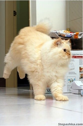 How much does a himalayan cat weigh