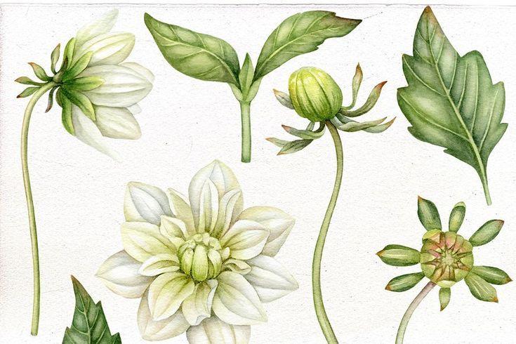 Dahlias Leaves Bulbs In 2020 Dahlia Flower Dahlia Leaf Clipart
