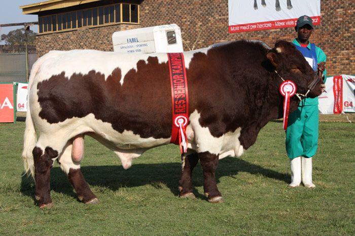 pinzgauer cattle