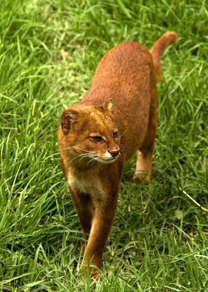Yaguarundí (Jaguarundi) (Puma yagouaroundi), spotted by Alejandro Moyano near Chia, Cundinamarca, Colombia