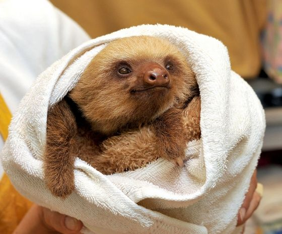"""Unlikely hero: Could you have ever imagined your whole day would be saved by one little, smiling sloth?"" Mine just was. ""Rescue sometimes arrives from where we least expect it."" -Cuteoverload.com"