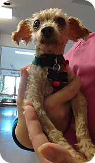 Wilmington, DE - Miniature Poodle Mix. Meet Simon a Dog for Adoption.